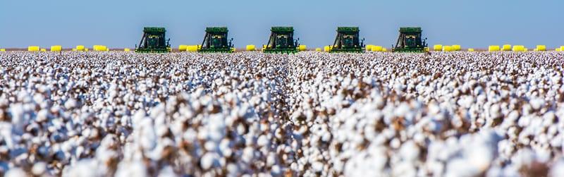 harvesting-cotton-for-yarn